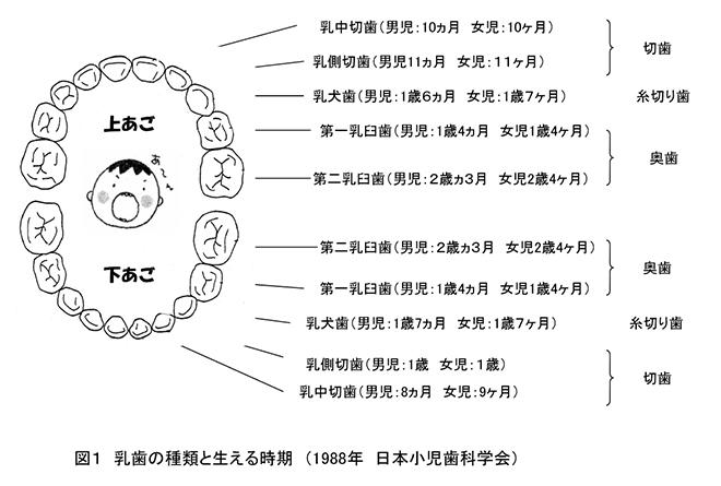 乳歯の種類と生える時期